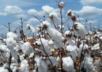 cotton pulping making